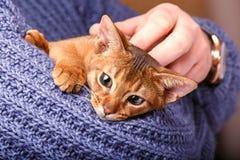 Γάτα Abyssinian στοκ φωτογραφίες