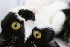 Γάτα Adoring Στοκ εικόνα με δικαίωμα ελεύθερης χρήσης