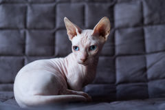 Γάτα Bambino Στοκ εικόνες με δικαίωμα ελεύθερης χρήσης