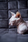 Γάτα Bambino Στοκ φωτογραφία με δικαίωμα ελεύθερης χρήσης