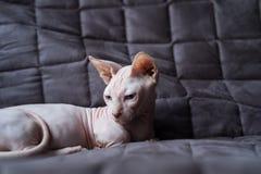 Γάτα Bambino στοκ εικόνα