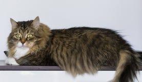 Γάτα Beuatiful στο σπίτι που εξετάζει τη κάμερα στοκ φωτογραφία