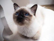 Γάτα Birman αδιάκριτη στοκ φωτογραφία με δικαίωμα ελεύθερης χρήσης