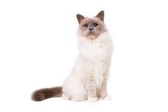 Γάτα Birman με τα μπλε μάτια Στοκ Φωτογραφίες