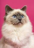 Γάτα Birman, που ανατρέχει, στο ρόδινο υπόβαθρο Στοκ Φωτογραφίες