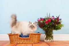 Γάτα Birman στο καλάθι Στοκ Εικόνες