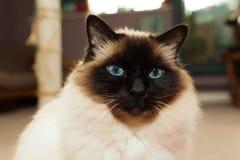 Γάτα Birman στο σπίτι στοκ φωτογραφία