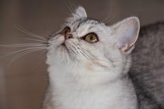 Γάτα Burmilla Στοκ εικόνα με δικαίωμα ελεύθερης χρήσης