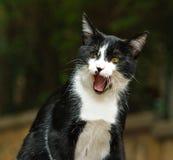 γάτα bw Στοκ Φωτογραφία