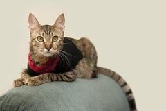 γάτα chairback σκαρφαλωμένη Στοκ φωτογραφία με δικαίωμα ελεύθερης χρήσης