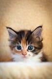 γάτα coon λίγο Maine Στοκ Φωτογραφίες