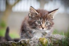γάτα coon λίγο Maine Στοκ Φωτογραφία