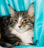 γάτα coon Maine Στοκ Φωτογραφίες