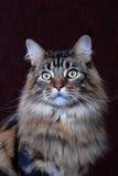 γάτα coon Maine Στοκ εικόνα με δικαίωμα ελεύθερης χρήσης