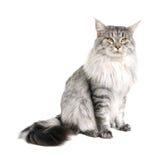γάτα coon Maine Στοκ φωτογραφίες με δικαίωμα ελεύθερης χρήσης