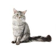 γάτα coon Maine Στοκ εικόνες με δικαίωμα ελεύθερης χρήσης