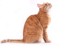 γάτα courious Στοκ Φωτογραφία