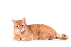 γάτα courious Στοκ φωτογραφία με δικαίωμα ελεύθερης χρήσης