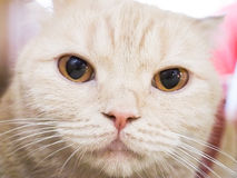 Γάτα Cymric Στοκ Φωτογραφία