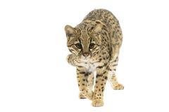 Γάτα Geoffroy Στοκ Εικόνες