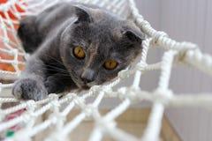 Γάτα Gery πτυχών Scotish με τις κηλίδες πιπεροριζών Στοκ Φωτογραφία