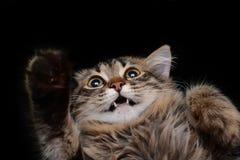 Γάτα Hamming Στοκ Εικόνες