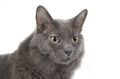 γάτα headshot Στοκ Εικόνες