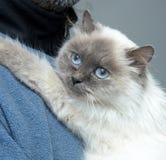 γάτα himalayan Στοκ Φωτογραφία