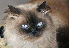 γάτα himalayan Στοκ φωτογραφίες με δικαίωμα ελεύθερης χρήσης