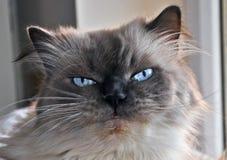γάτα himalayan Στοκ Εικόνες