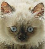 γάτα himalayan Στοκ εικόνα με δικαίωμα ελεύθερης χρήσης