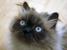γάτα himalayan Στοκ φωτογραφία με δικαίωμα ελεύθερης χρήσης