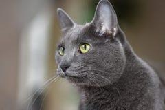 Γάτα Korat Στοκ φωτογραφίες με δικαίωμα ελεύθερης χρήσης