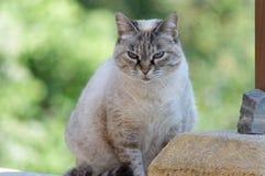 Γάτα Mélodie στοκ εικόνες