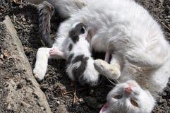 Γάτα Mamma και γάτα μωρών Στοκ Εικόνες