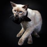 γάτα mekong 7 bobtail Στοκ Φωτογραφία