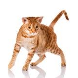 Γάτα Ocicat σε ένα άσπρο υπόβαθρο Στοκ Εικόνες
