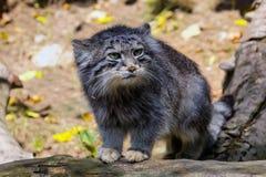 Γάτα PallasÂ, Otocolobus manul Στοκ Εικόνες