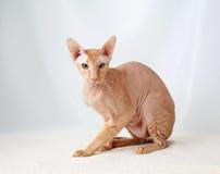 Γάτα Peterbald, ασιατικό Shorthair στοκ εικόνα