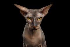 Γάτα Peterbald στο απομονωμένο μαύρο υπόβαθρο στοκ φωτογραφία με δικαίωμα ελεύθερης χρήσης