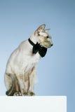 Γάτα Peterbald στοκ εικόνες