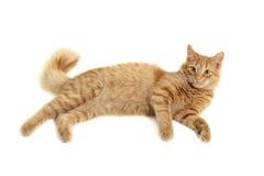 γάτα plaful Στοκ Εικόνα