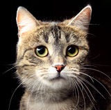 Γάτα portre Στοκ εικόνες με δικαίωμα ελεύθερης χρήσης