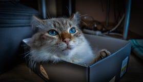 Γάτα Radgoll Στοκ φωτογραφίες με δικαίωμα ελεύθερης χρήσης