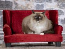 Γάτα Ragdoll σε έναν κόκκινο καναπέ στοκ φωτογραφίες με δικαίωμα ελεύθερης χρήσης