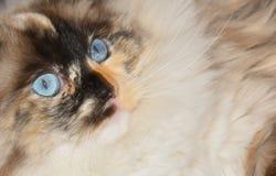Γάτα Ragdoll στο πρώτο πλάνο Στοκ Φωτογραφία