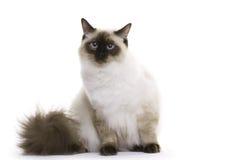 γάτα ragdoll Στοκ Φωτογραφία