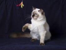 γάτα ragdoll Στοκ φωτογραφίες με δικαίωμα ελεύθερης χρήσης