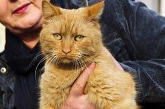 γάτα redhead Στοκ Φωτογραφία