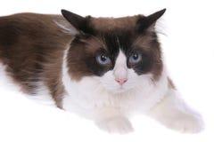 γάτα regdoll Στοκ Εικόνα